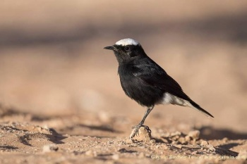 White-crowned Black Wheatear copyright Gayuin Birding Tours