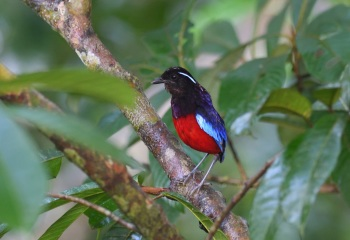Black-crowned Pitta - Borneo 2017