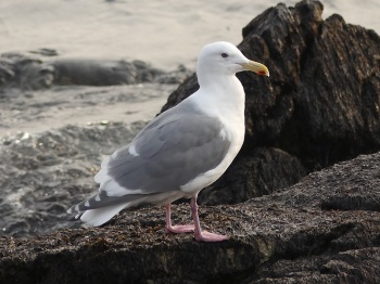 Glaucous-winged-Gull by Nick Upton
