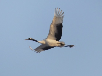 Red-crowned Crane by Nick Upton