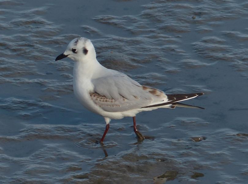 Saunders Gull