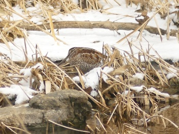 Solitary Snipe by Nick Upton