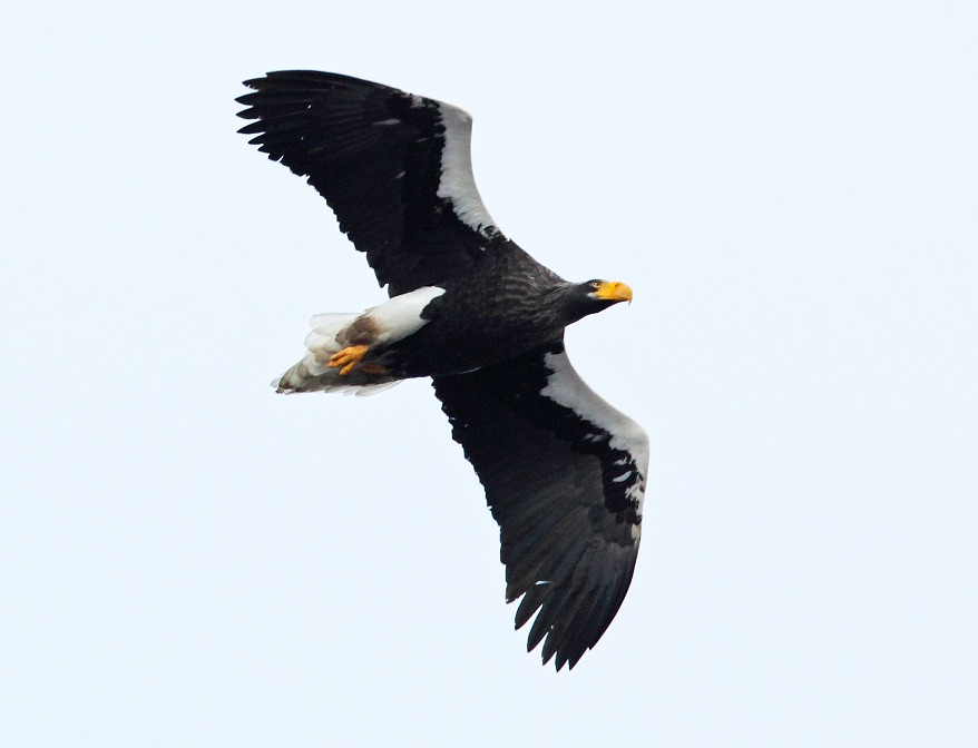 Steller's Sea Eagle by Nick Upton