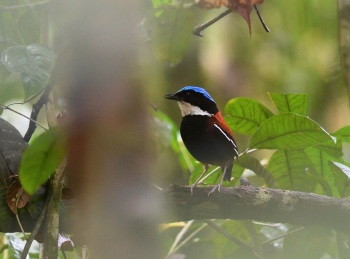 Blue-headed Pitta - Danum Valley 2017