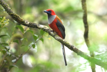 Whiteheads Trogon - Mount Kinabalu 2017