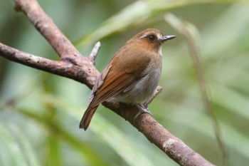 Eye-browed Jungle Flycatcher - Mount Kinabalu 2017
