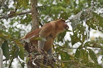 Proboscis Monkey - Kinabatangan River 2017