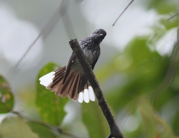 Spotted Fantail - Danum Valley 2017