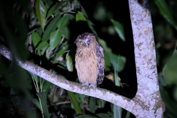 Buffy Fish Owl - Kinabatangan River 2017