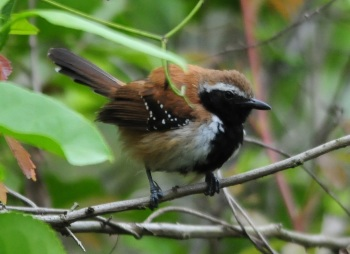 Rusty-backed Antwren by Nick Bray