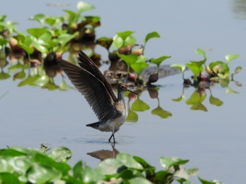 Solitary Sandpiper by Nick Bray
