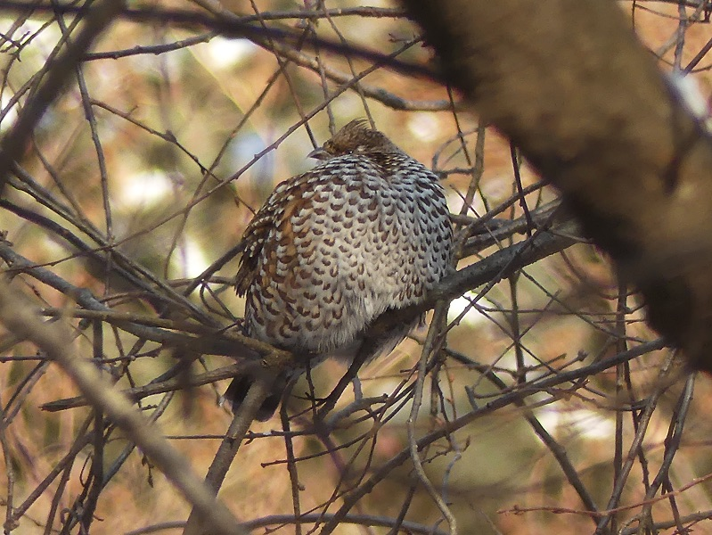 Hazel Grouse by Nick Upton