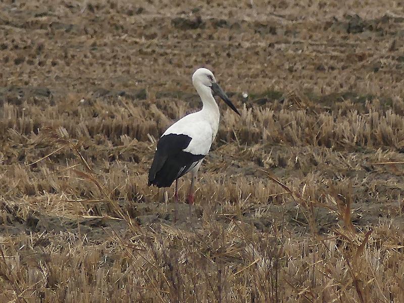 Oriental Stork by Nick Upton