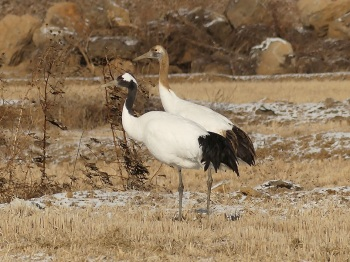 Red-crowned-Crane by Nick Upton