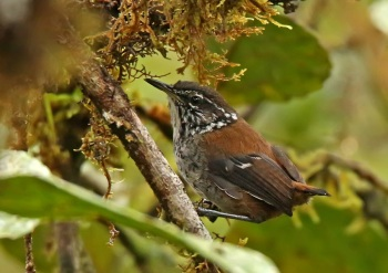 Bar-winged Wood-Wren by Roger Ahlman