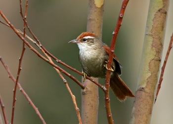 Barons Spinetail by Roger Ahlman
