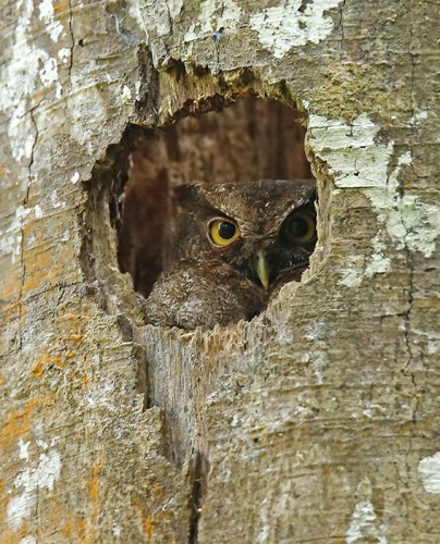 Foothill-Screech-Owl by Roger Ahlman