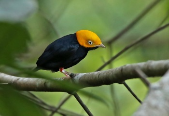 Golden-headed-Manakin by Roger Ahlman