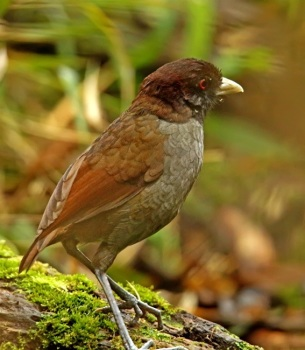 Pale-billed-Antpitta by Roger Ahlman