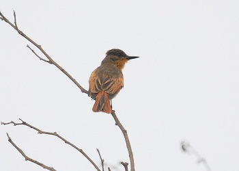 Rufous-Flycatcher by roger Ahlman
