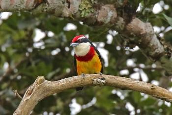 Scarlet-banded-Barbet by Roger Ahlman