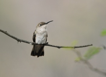Tumbes-Hummingbird by roger Ahlman