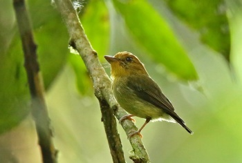 Yellow-throated-Spadebill by Roger Ahlman