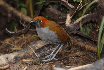 Chestnut-naped-Antpitta by Roger Ahlman