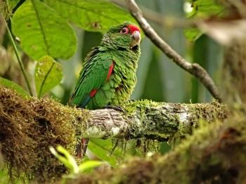 El-Oro-Parakeet by Roger Ahlman