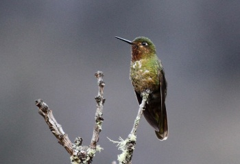 Neblina-Metaltail by Roger Ahlman