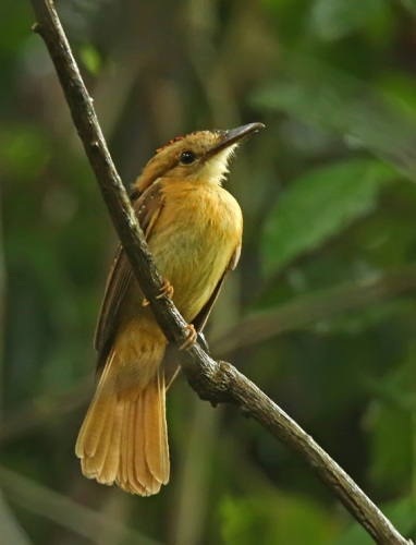 Pacific-Royal-Flycatcher by Roger Ahlman