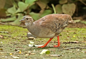 Pale-browed-Tinamou by Roger Ahlman