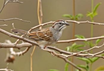 Tumbes-Sparrow by Roger Ahlman