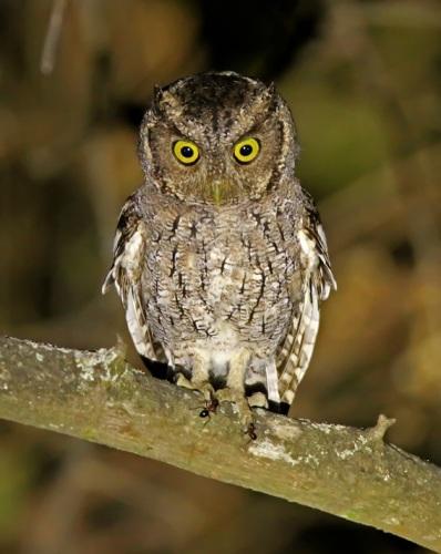 West-Peruvian-Screech-Owl by Roger Ahlman
