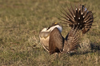 Greater Sage Grouse by Kim Risen