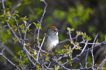 Green-tailed Towhee by Kim Risen
