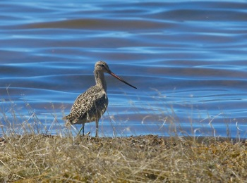 Marbled Godwit by Kim Risen