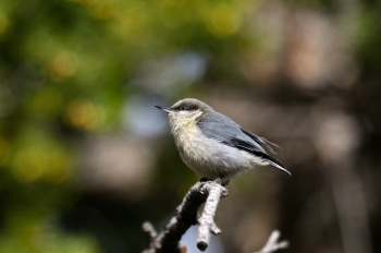 Pygmy Nuthatch by Kim Risen