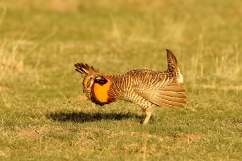 Greater Prairie Chicken by Kim Risen