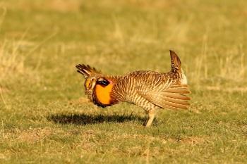 Greater Prairie Chicken by Kim Risen