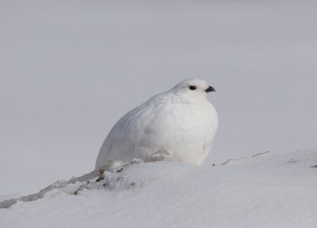 White-tailed Ptarmigan 2 by Kim Risen