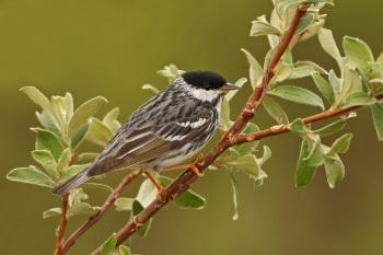 Blackpoll Warbler by Kim Risen