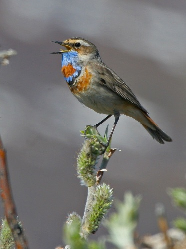 Bluethroat - Alaska by Kim Risen
