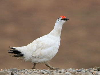Rock Ptarmigan - Alaska by Kim Risen