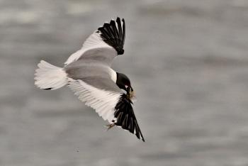 Sabines Gull - Alaska by Kim Risen