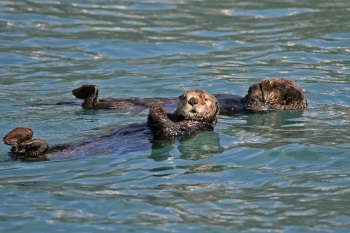Sea Otters - Alaska by Kim Risen
