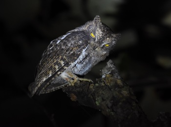 Waldens Scops Owl:Nick Bray