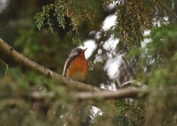 Kashmir Flycatcher:Nick Bray