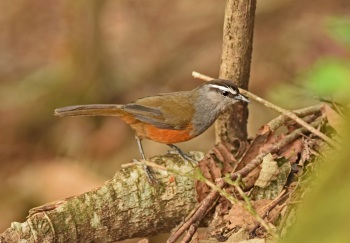 Kerala Laughingthrush:Nick Bray