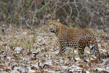 Leopard, S India:Nick Bray